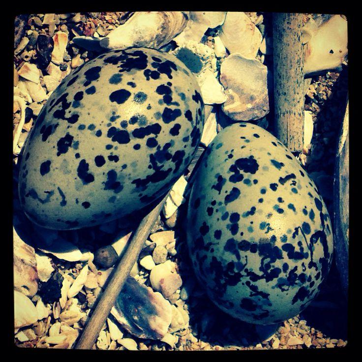 Black Oyster Catcher Nest, Stilbaai