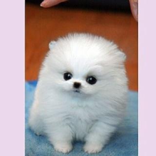 My Future Puppy Miniature Teacup Pomeranian More