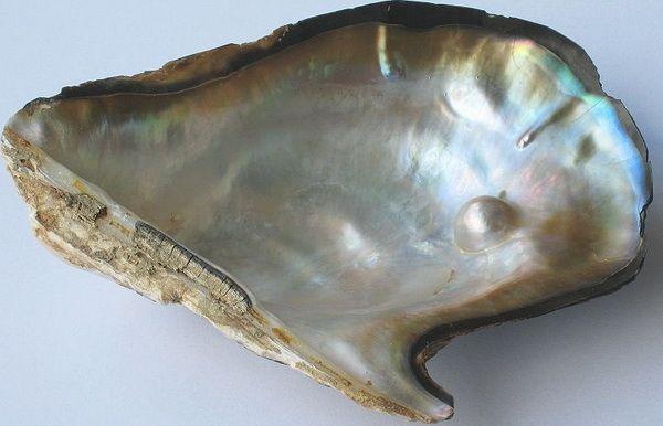 Výsledek obrázku pro белый перламутр раковина