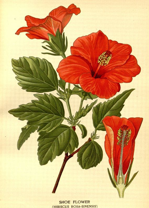 Shoe Flower Hibiscus rosa-sinensis Victorian botanical illustration reproduction