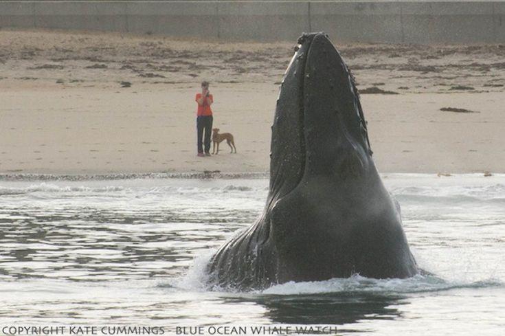 Una megattera balza fuori dall'acqua a 45 metri dalla riva lasciando a bocca aperta bagnanti e cani. Questo scatto straordinario è stato fatto da Kate Cummings, proprietaria della Blue Ocean Whale Watch, agenzia organizzatrice di uscite in mare per l'avvistamento dei cetacei, nella baia di Mo