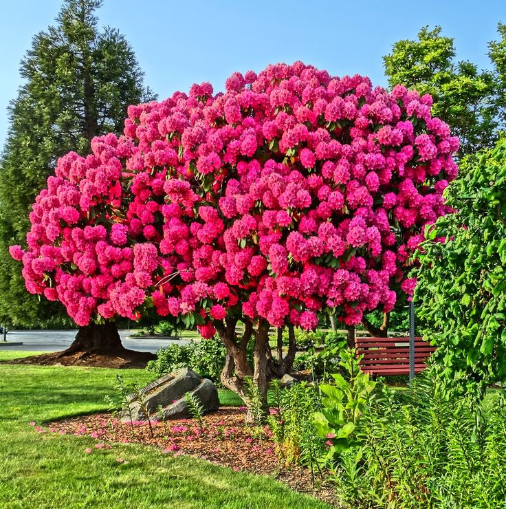 My favorite Rhododendron , downtown Courtenay, BC.  May/2015