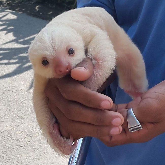 This baby sloth is as cute a little thing as you will ever see! I mean, just look at the little thing!