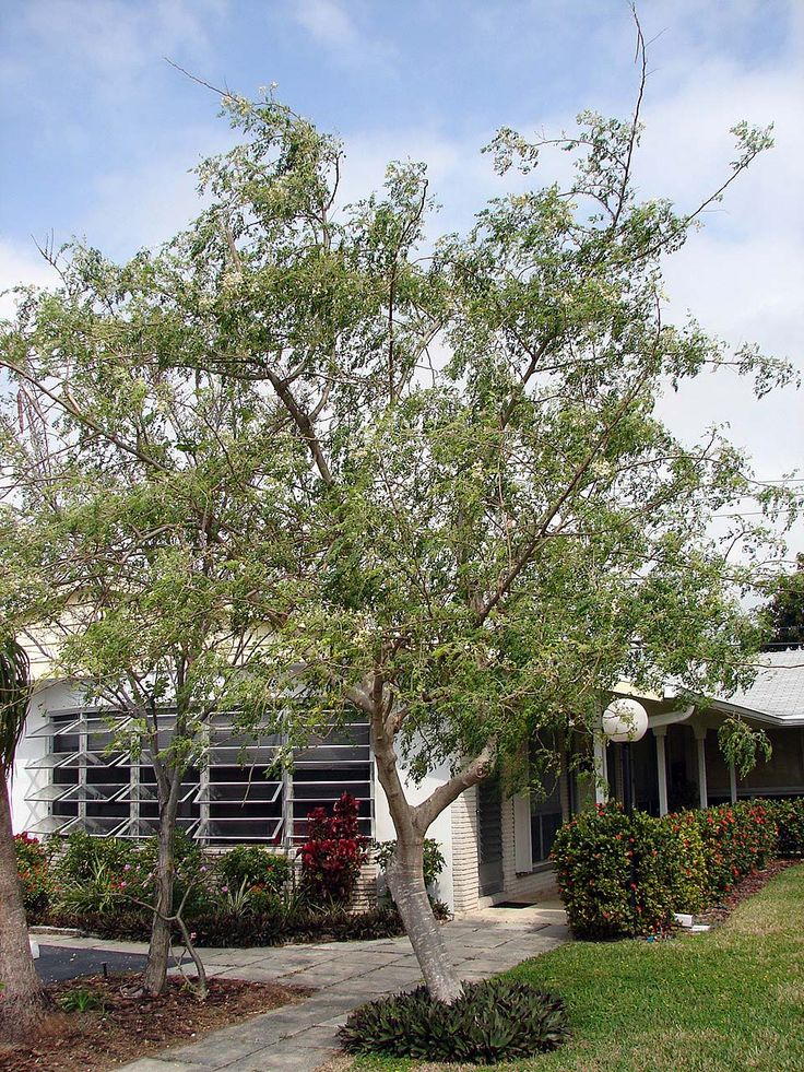 Moringa Oleifera: Most Awesome Tree Ever