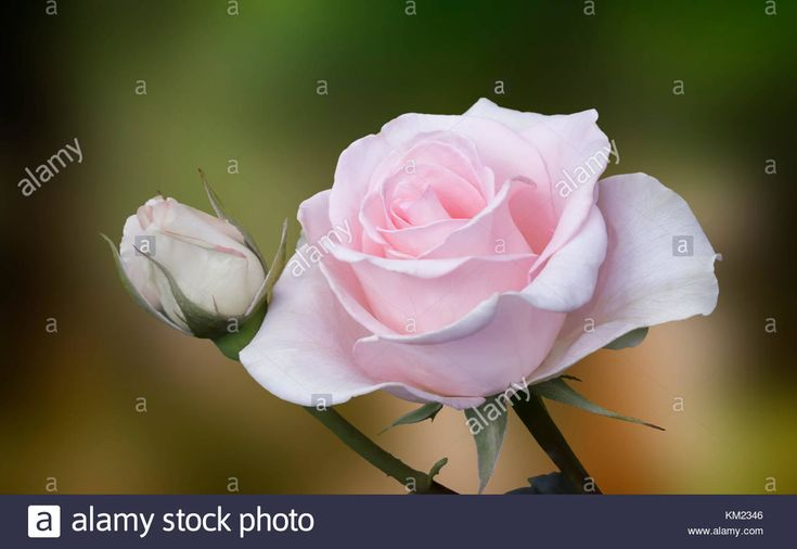 Download this stock image: Beautiful blossoming rose against the green of the leaves - KM2346 from Alamy's library of millions of high resolution stock photos, illustrations and vectors.