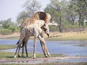 "Giraffes ""necking"" at DumaTauDumatau, Giraffes Neck"