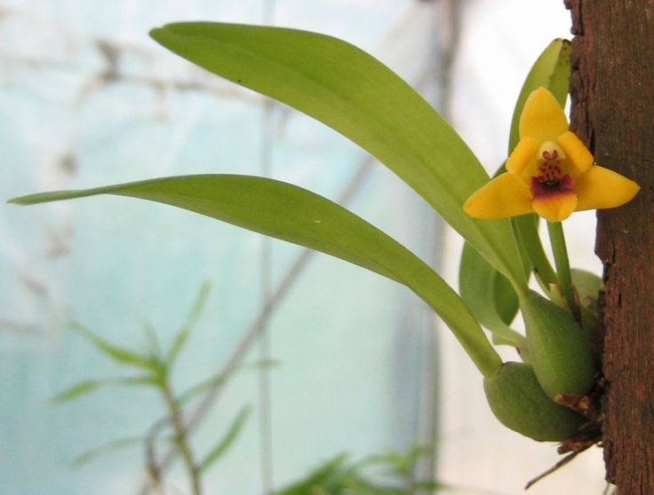 The Coconut Orchid besides External likewise Zimmerblume furthermore 38285 Maxillaria Tenuifolia Project 11 Summer 2010 A 57 moreover Our Coconut Cream Pie Is Ready Help Yourself. on orchid maxillaria tenuifolia care
