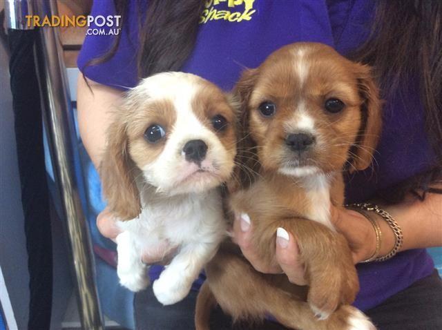 Tibetan Spaniel x Cavalier Puppies at Puppy Shack