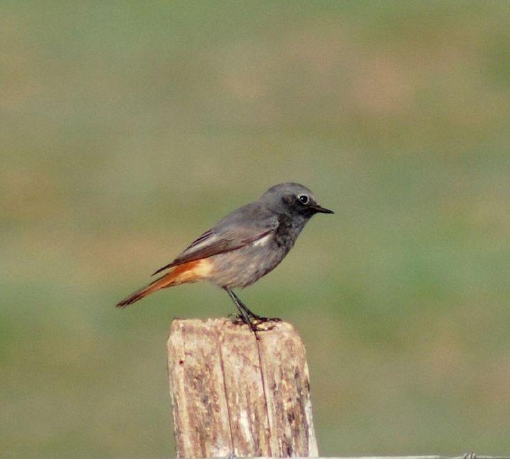 Petit oiseau queue rouge oiseau rare nom | Jitep