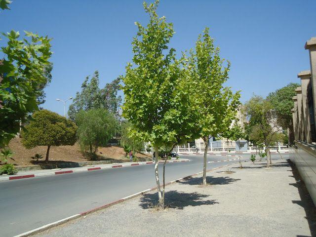 شجرتا بلاتان Plants Sidewalk Tree