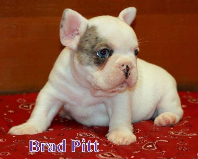 Litter of 3 French Bulldog puppies for sale in CORONA, CA. ADN-28070 on PuppyFinder.com Gender: Male(s) and Female(s). Age: 10 Weeks Old