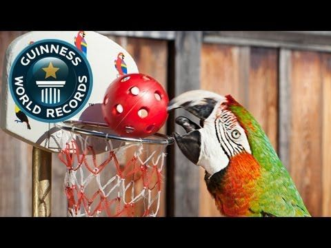 Most Slam Dunks By A Parrot - Meet The Record Breakers - Guinness World Records