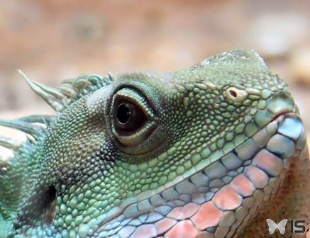 Regard d'un dragon d'eau chinois