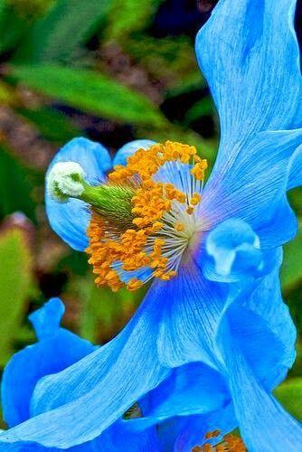 Amazing pavot bleu