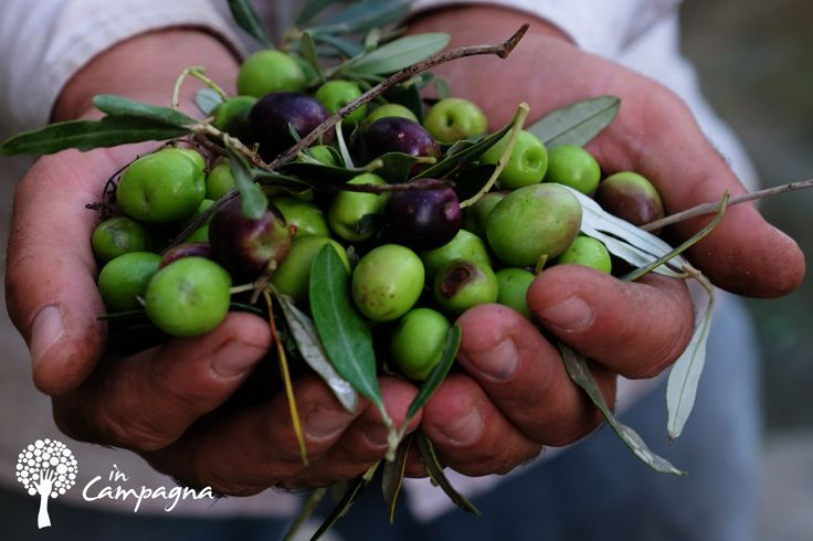 Zbiory oliwek Październik 2015