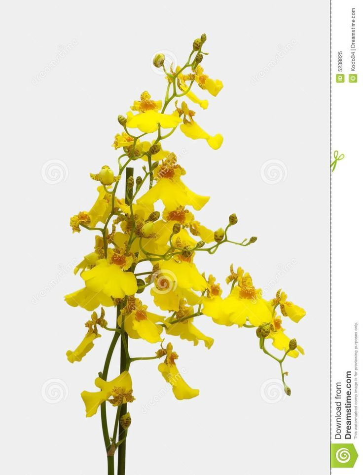Yellow Orchid Royalty Free Stock Photo - Image: 5238825