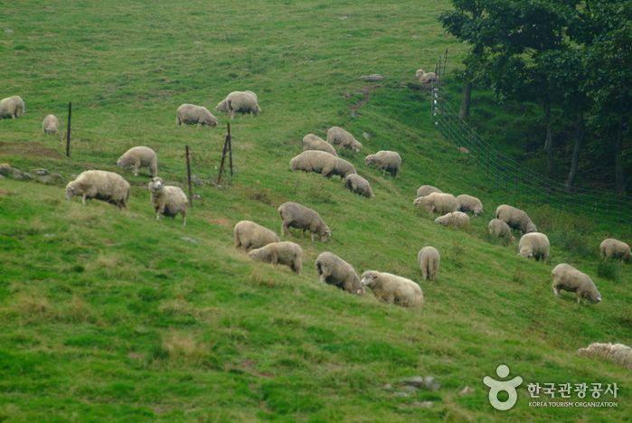 Daegwallyeong Sheep Farm (대관령 양떼목장)