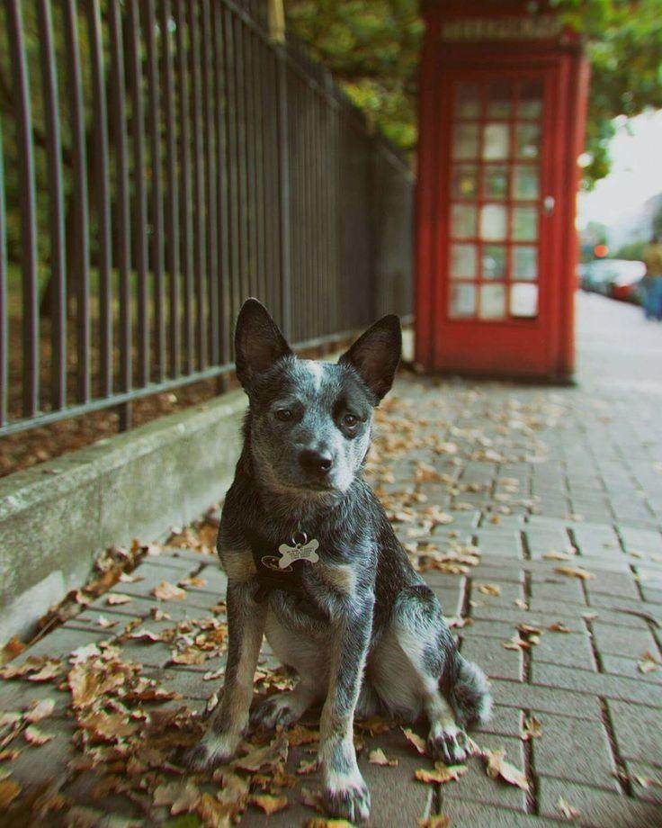Pin By Knitting Love Gram On Blue Heeler Blue Heeler Puppies