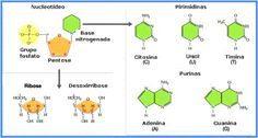5- O DNA e o RNA são ácidos nucléicos.  O DNA é feito de desoxirribose e bases nitrogenadas A, G,C e T .   E  o RNA é feito de ribose e bases nitrogenadas A,G,C e U. São moléculas bem diferentes das proteínas, que são polímeros formados de aminoácidos unidos por ligações peptídicas.
