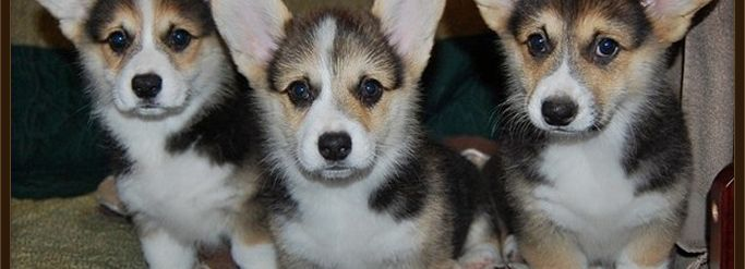AKC Registered Corgi Puppies AKC Pembroke Welsh Corgis in Kansas