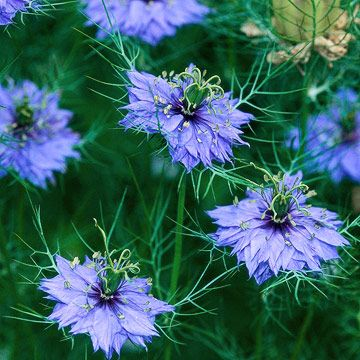 nigella (love-in-a-mist)... one of my favorites.