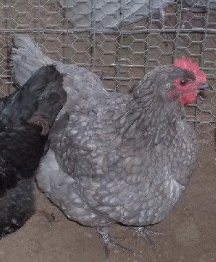 Jersey Giants-blue. Large bird, 9-10 lbs. as an adult. Lays medium brown eggs.
