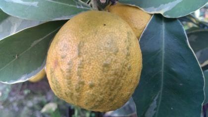 Török Salicifolia keserű narancs 'Citrus aurantium turcicum salicifolia' - (Citrus aurantium turcicum salicifolia): Citrusfélék | Ár: 14000.00 Ft