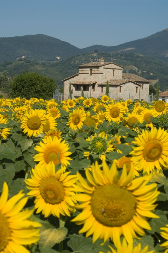 Sunflowers in Umbria I hope to see the sunflowers blooming in Umbria. A magical scene to enjoy a wonderful Italian picnic.
