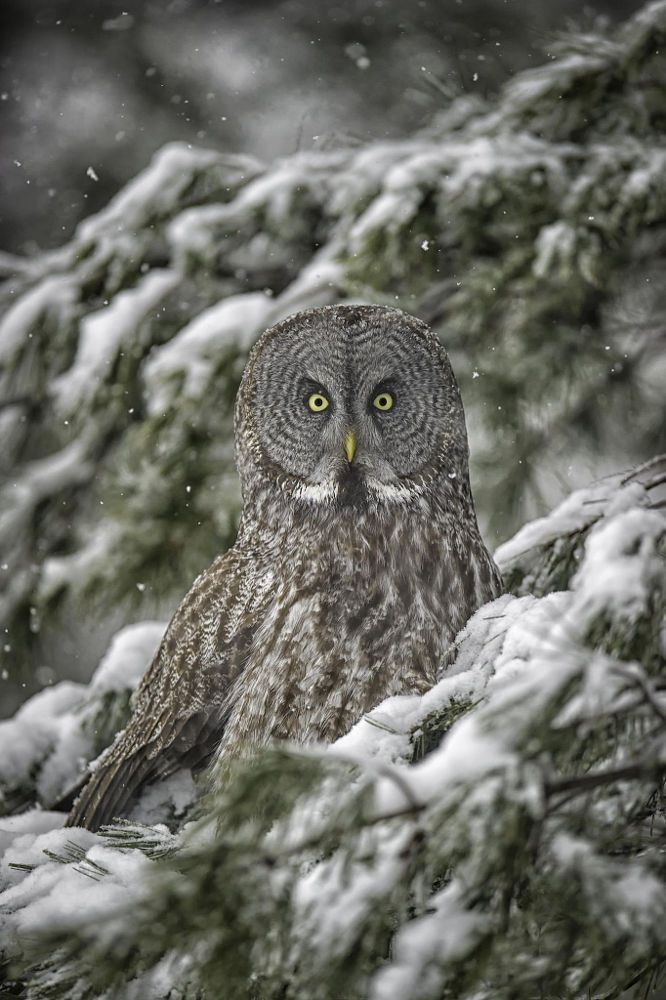 Great grey owl in evergreen tree. - title Great Grey Ornament