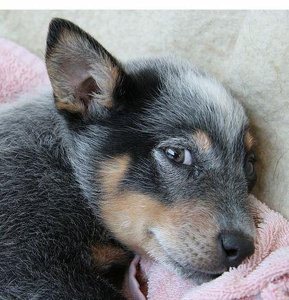 Adorable puppy photos of a Blue Heeler dog relaxing.PNG