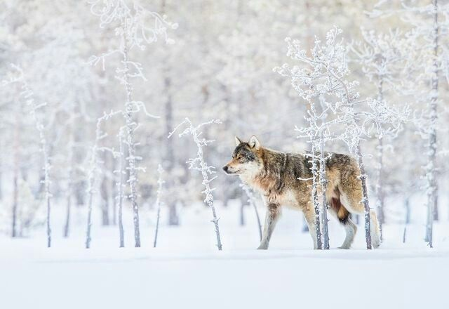 "DECEMBER 25, 2017WINTER WOLF  Wolves are becoming more rare in Finland, as a result of hunting and culling programs. So seeing this male on a cold morning was ""magical,"" says Your Shot photographer Bernt Østhus. Wolves are ""a rare sight in the winter time,"" he says. ""They are more commonly photographed in the summertime.""  PHOTOGRAPH BY BERNT ØSTHUS,"