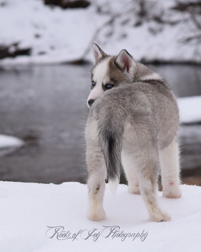 Gorgeous Siberian Husky puppy winter picture by Roots of Joy Photography.