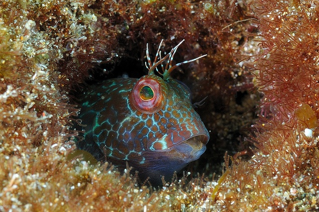 Blenny fish portraits nature Pinterest