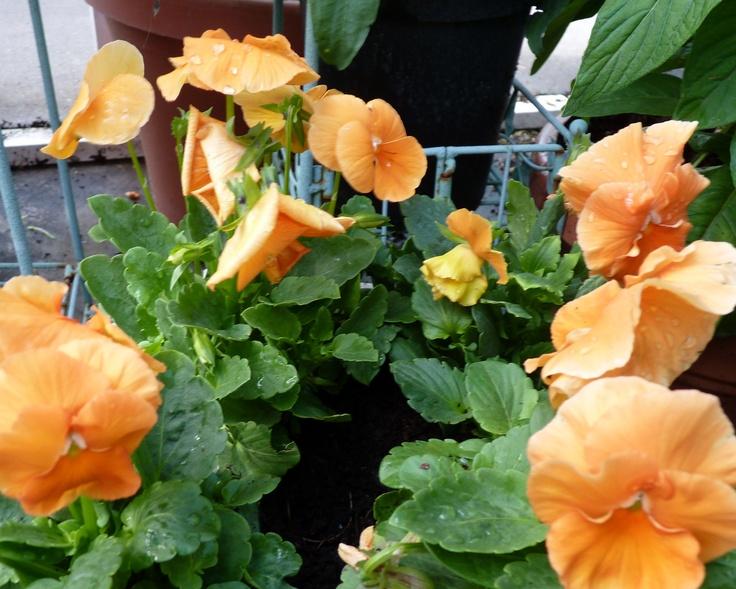 Pansy 'Pure Deep Orange' (Viola wittrockiana)