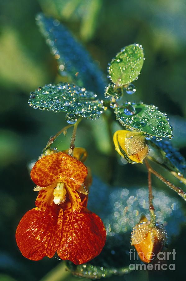 ✯ Touch-me-not and Morning Dew -Hummingbirds love these! Just learned they're also good for people, to relieve poison ivy and other skin rashes.