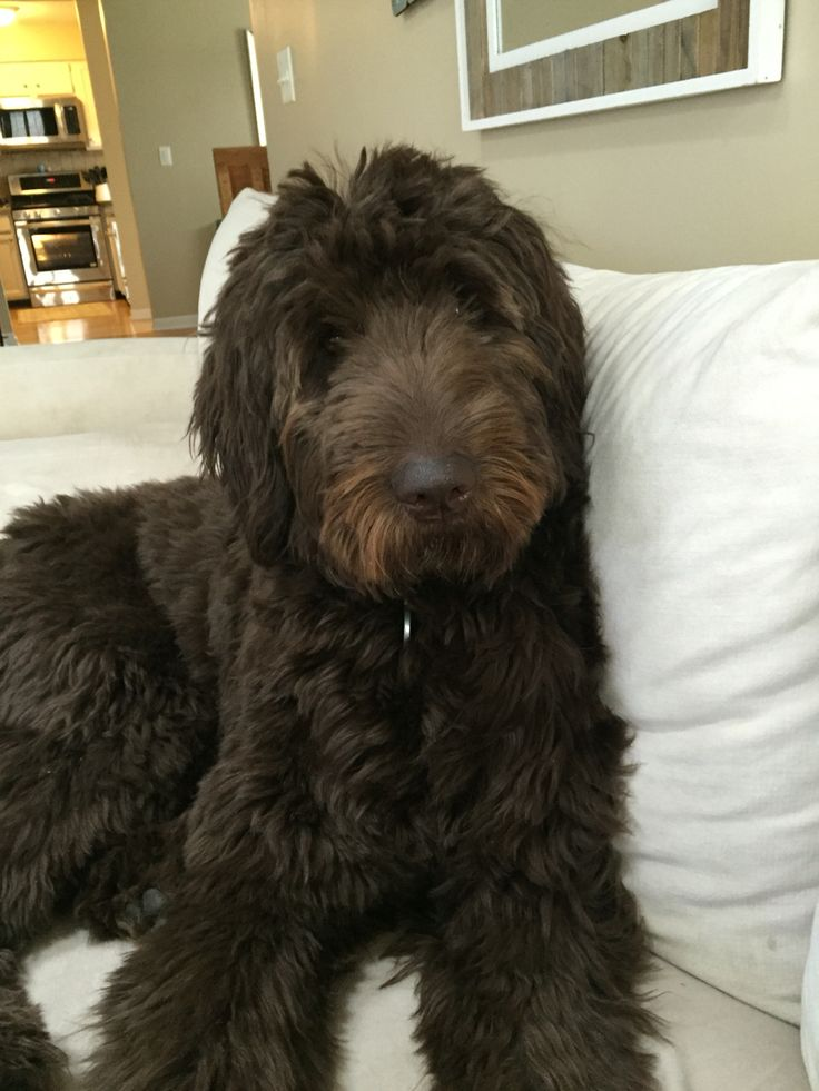 Wrigley- the chocolate Goldendoodle!