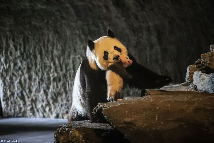 Pairi Daiza said Belgium had become the third country in Europe to see the successful repr...