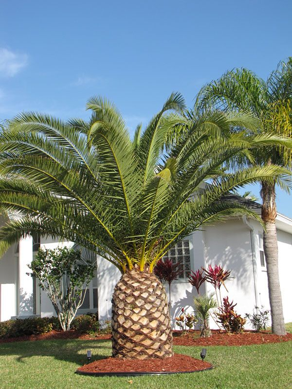 Canary Island Date Palm Tree Phoenix Canariensis In 2020 Canary Island Date Palm Palm Tree Pictures Palm Trees Landscaping