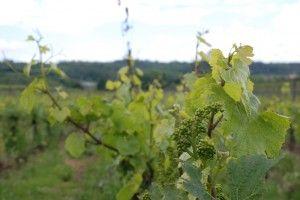 Our vineyard Pianura #franciacorta #wine #vino