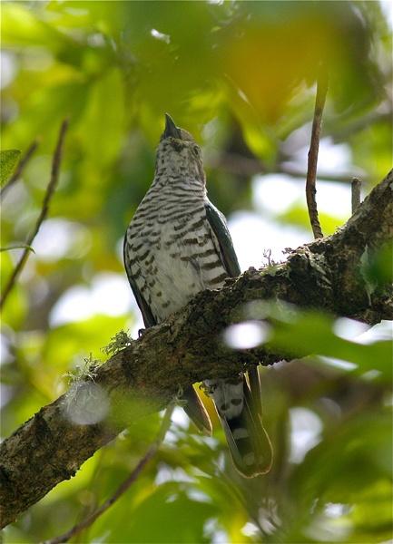 Hmmm..an interesting character this one! The Shining Cuckoo/Pipiwharauroa