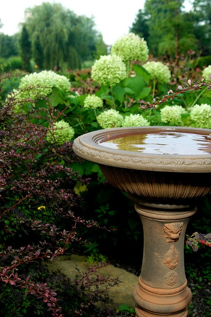 "hydrangea ""annabelle"" with bird bath"