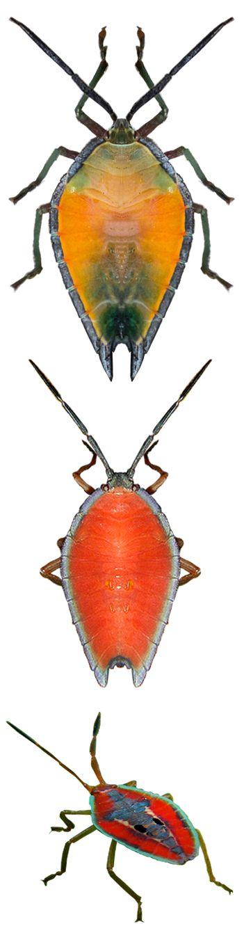 Lyramorpha parens nymphs