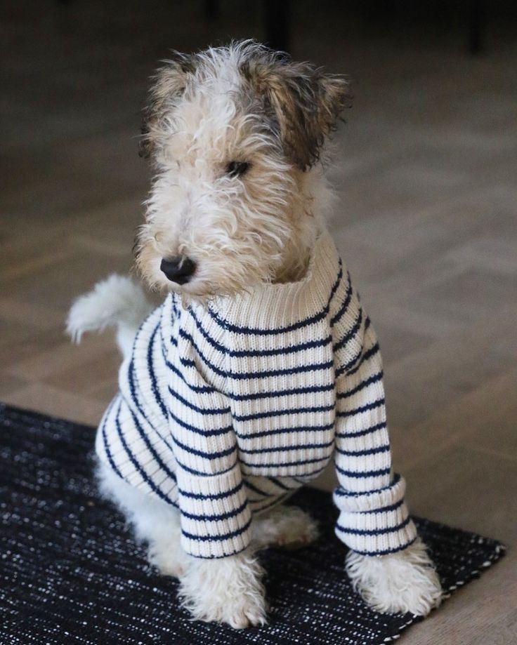 Fox Terrier in a Foxy Winter's Sweater - styling! ;) I #fortheloveofdog