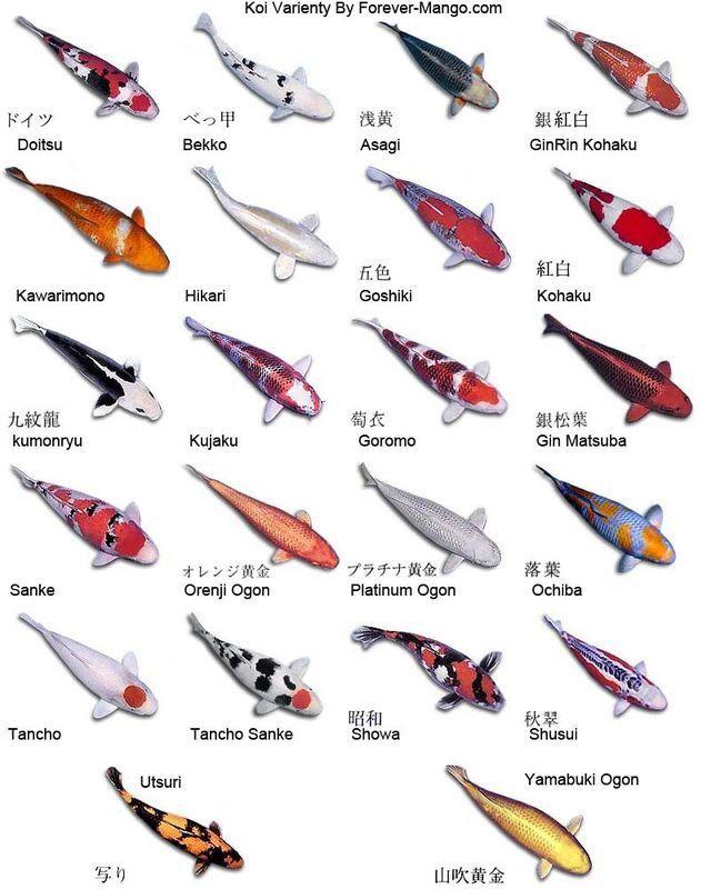 錦鯉の種類にはこんな名前が付けられている