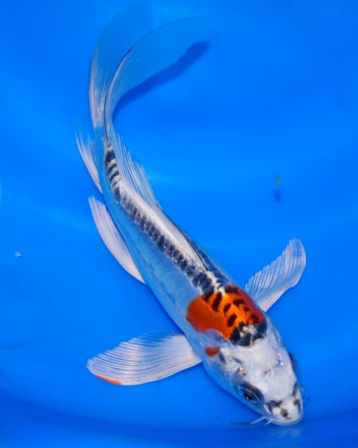 pisces , 6 Beautiful Butterfly Koi Fish Care :  Koi Breeder