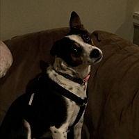 Tumwater, Washington - Jack Russell Terrier. Meet Isabelle, a for adoption. https://www.adoptapet.com/pet/20048639-tumwater-washington-jack-russell-terrier-mix