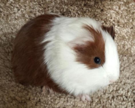 Silkie Guinea Pig | Darling Baby Silkie Guinea Pig (long haired)