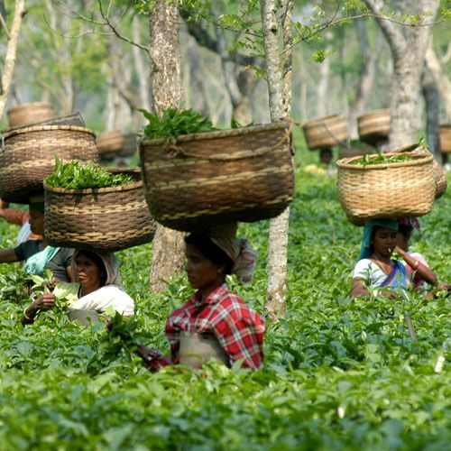 Tea pluckers in Assam's tea estate ♥✫✫❤️ *•. ❁.•*❥●♆● ❁ ڿڰۣ❁ La-la-la Bonne vie ♡❃∘✤ ॐ♥⭐▾๑ ♡༺✿ ♡·✳︎·❀‿ ❀♥❃ ~*~ SUN May 29, 2016 ✨вℓυє мσση ✤ॐ ✧⚜✧ ❦♥⭐♢∘❃♦♡❊ ~*~ Have a Nice Day ❊ღ༺ ✿♡♥♫~*~ ♪ ♥❁●♆●✫✫ ஜℓvஜ
