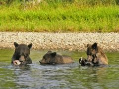 grizzly's near Bella Coola BC