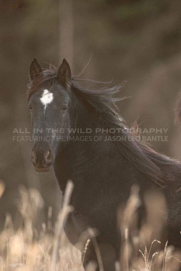 UP AND COMING Alberta Foothills   I photographed this young, wild mustang west of Sundre, one of the few remaining places wild horses can be seen in the wild in Alberta.  Although young, one could tell this individual held dominance as always setting a boundary between me and the rest of the herd.